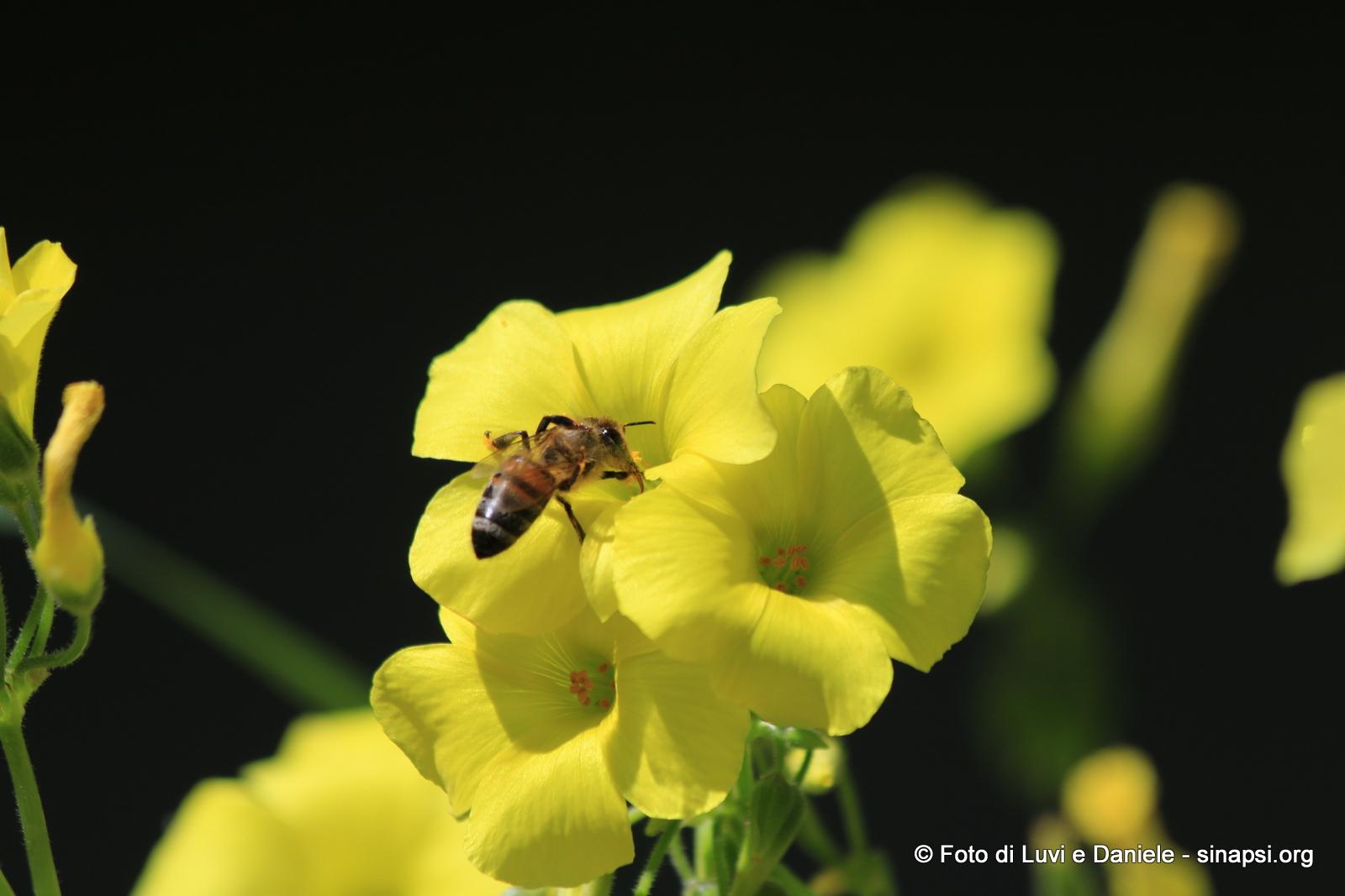 ape e fiore giallo